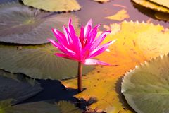 Pink lotus in the lake.  Stock Photos