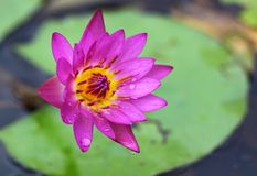 Pink lotus in lake Royalty Free Stock Photo