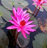 Pink lotus in lake Royalty Free Stock Image