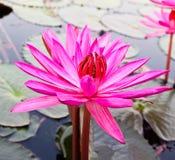 Pink lotus in lake. Stock Photos
