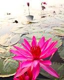 Pink lotus in lake Royalty Free Stock Photography