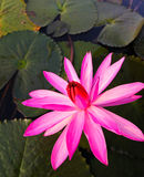 Pink lotus in lake. Royalty Free Stock Photos