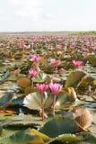 Pink lotus in a lake Stock Photo