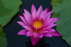 Pink lotus in lake. Pink color fresh lotus blossom on pond background Royalty Free Stock Photos