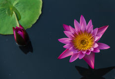 Pink lotus in lake. Pink color fresh lotus blossom on pond background Stock Image