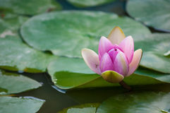 Pink Lotus in a lake Royalty Free Stock Image