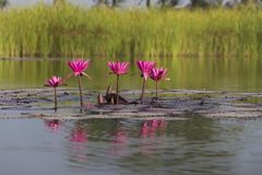Pink Lotus in a lake stock photography