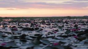 Pink lotus lake take boat tour in the morning stock video