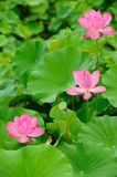 Pink lotus in leaf background. Some beautiful lotus in the pond Royalty Free Stock Image