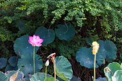 Pink lotus leaf clusters Stock Photography