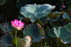 Pink lotus leaf clusters Stock Image