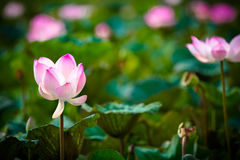 Pink lotus and leaves Royalty Free Stock Photo