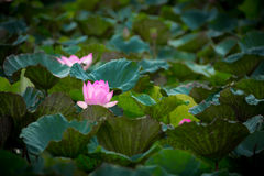 Pink lotus and leaves Stock Photo