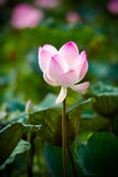 Pink lotus and leaves Royalty Free Stock Photos