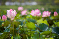 Pink lotus and leaves Stock Photography