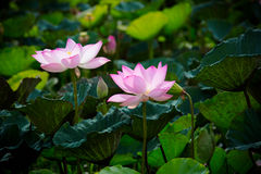 Pink lotus and leaves Stock Images