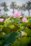 Pink lotus and leaves Stock Photos