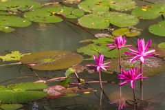 Pink lotus. With the left under sunlight Royalty Free Stock Images