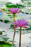 Pink lotus. /Lillie in a lake Royalty Free Stock Image