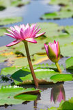 Pink lotus. /Lillie in a lake Stock Photo