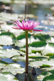 Pink lotus. /Lillie in a lake Stock Photos