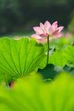 Pink lotus Royalty Free Stock Images