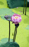 Pink Lotus in Marsh. The pink lotus in daylight Royalty Free Stock Images