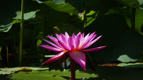 The pink lotus on the middle of green nature. The floating pink otus flower is very elegant Stock Image