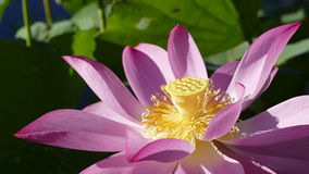 Pink lotus at the moring with nice background color Royalty Free Stock Photography