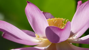 Pink lotus at the moring with nice background color Stock Photos