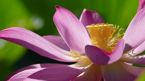 Pink lotus at the moring with nice background color stock video