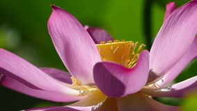 Pink lotus at the moring with nice background color stock footage