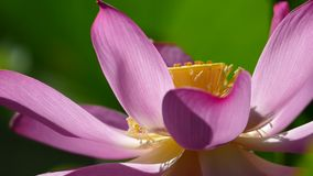 Pink lotus at the moring with nice background color stock video footage