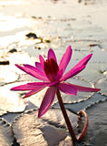 Pink lotus in the morning light Royalty Free Stock Photography