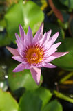 Pink lotus in natural pond Royalty Free Stock Photo