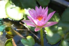 Pink lotus in nature Royalty Free Stock Photo