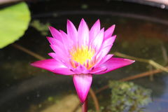 The pink lotus Stock Image