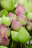 Pink Lotus. Nelumbo nucifera or Indian lotus is pink and white-green Royalty Free Stock Photo