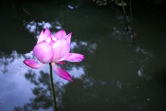 Pink lotus nucifera in the marsh.  Stock Image