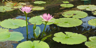 Pink lotus.( Nymphaea lotus Linn ) Royalty Free Stock Images