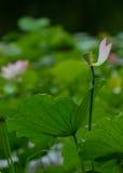 Pink Lotus Petal. Pink lotus with fallen petal in pond Royalty Free Stock Photos