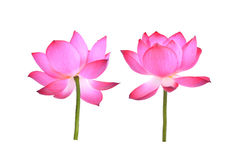 Pink lotus petal flower isolated on white Royalty Free Stock Image