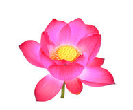 Pink lotus petal flower isolated on white Stock Images