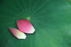 Pink Lotus petals Royalty Free Stock Photos