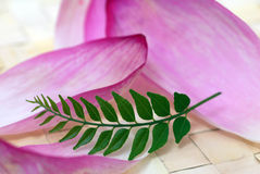 Pink Lotus Petals and Green Curry Leaf Royalty Free Stock Photography