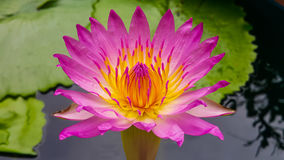 Pink lotus. Pink petel yellow stamens on water morning Royalty Free Stock Images