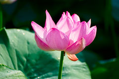 The pink lotus Stock Photo