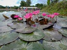 Pink lotus. Beautiful royalty free stock photo