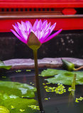 Pink Lotus-Pink Water Lily full bloom Royalty Free Stock Photo