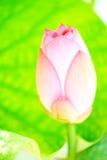 Pink lotus pod Stock Photo